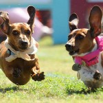 DACHSHUND-RACES-01