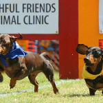 DACHSHUND-RACES-03