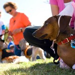 DACHSHUND-RACES-04