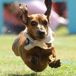 """Wiener Takes All"" Dachshund Races"